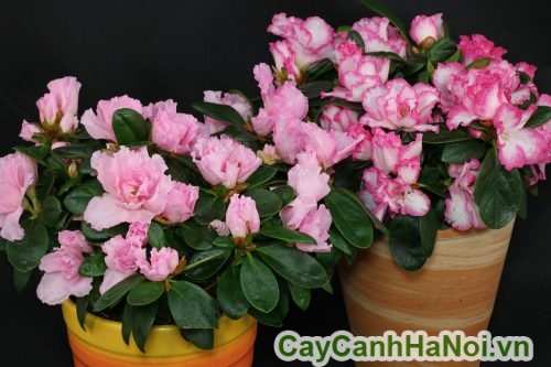 rhododendron-simsii