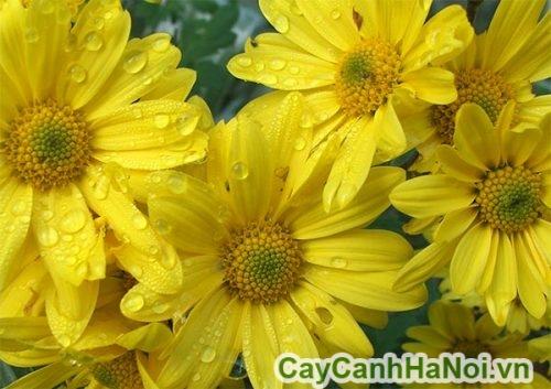 wet-yellow-chrysanthemum