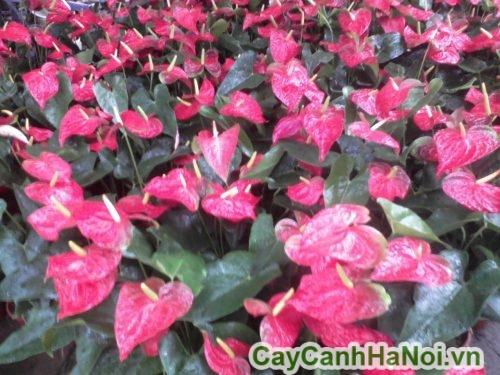 Hoa tiểu hồng môn đẹp