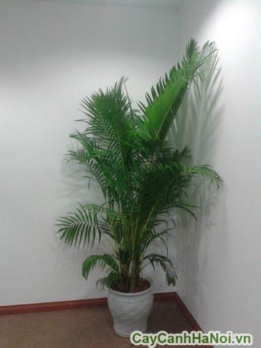 Cây cau vàng- Cây cảnh nội thất văn phòng