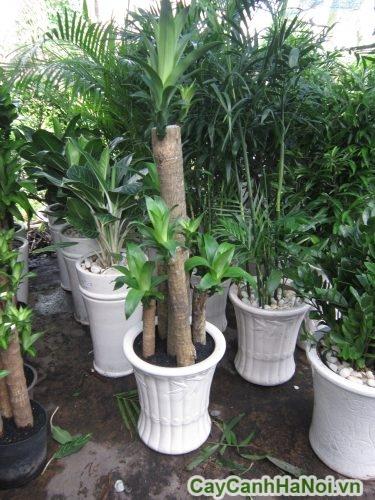 cây phát tài gốc đẹp