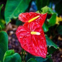 Cây tiểu hồng môn đẹp