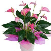 Hoa hồng môn- cây nội thất văn phòng