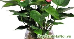 Cách chăm sóc cây đại hồng môn trồng nước, thủy canh