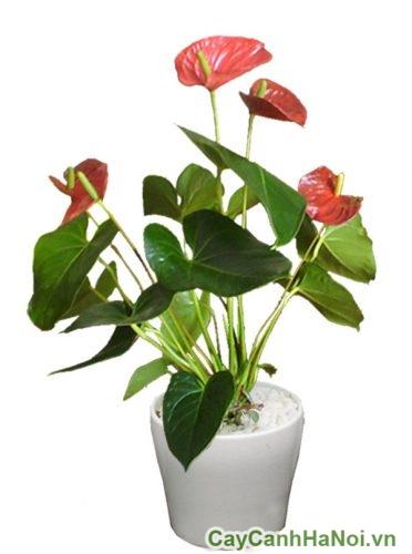Hoa đại hồng môn