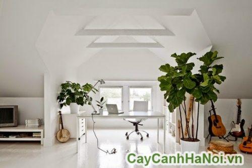 Cây bàng singapore trang trí phòng khách