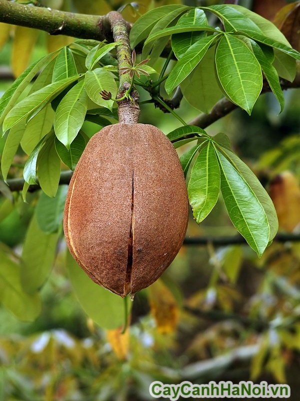 Trái cây kim ngân