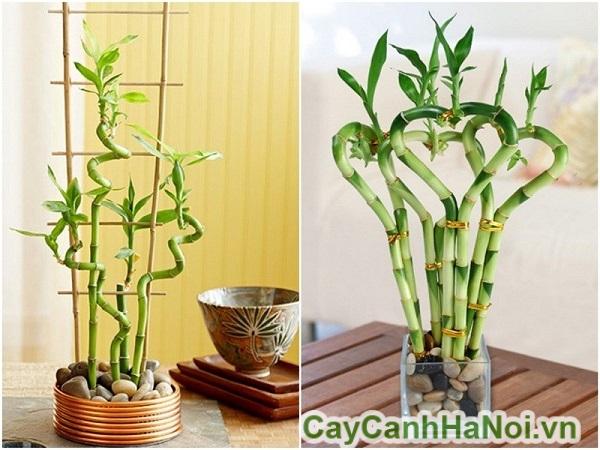 Cây phát lộc bonsai