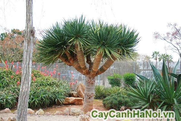 Cách trồng cây phát tài núi
