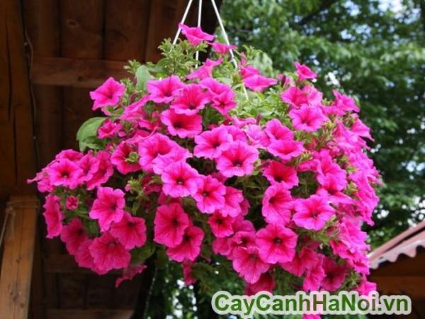 Cây dạ yến thảo hồng đậm