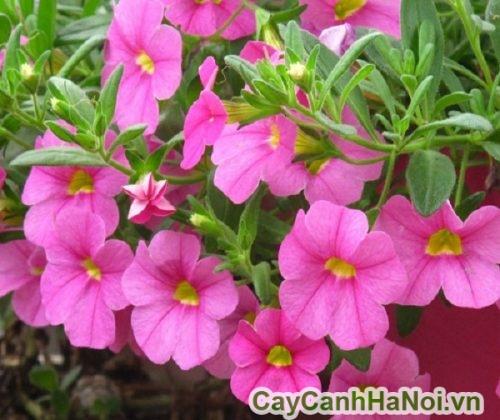 Cây dạ yến thảo hồng