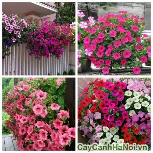 Các loại hoa dạ yến thảo
