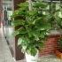 Đặc điểm cây vạn niên thanh leo cột