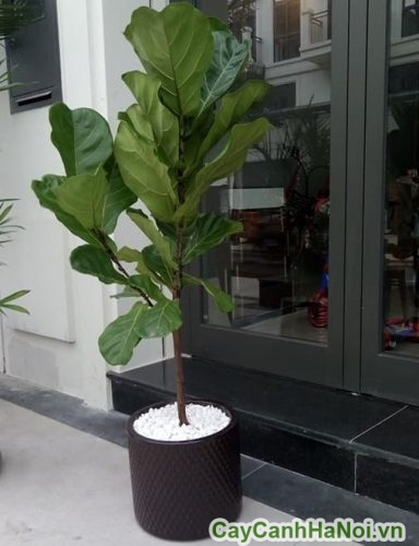tác dụng của cây bàng singapore