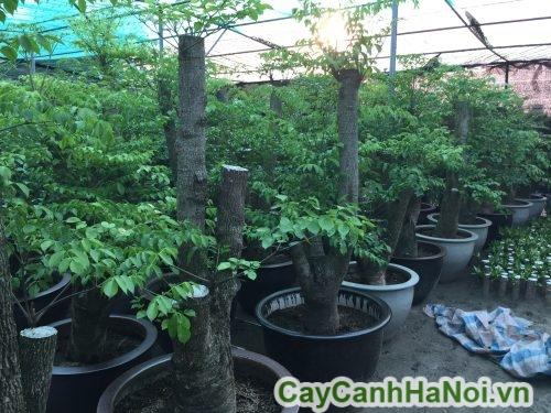 kỹ thuật trồng cây hạnh phúc