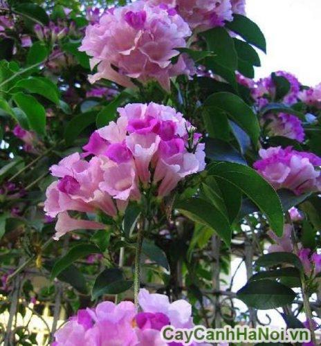 Cây hoa lan tỏi trong phong thủy