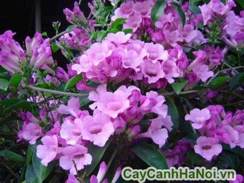 tác dụng của cây hoa lan tỏi