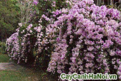 Cách chăm sóc cây hoa lan tỏi