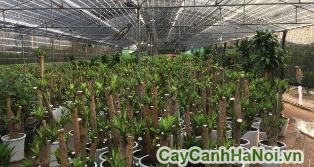 kỹ thuật trồng cây phát tài