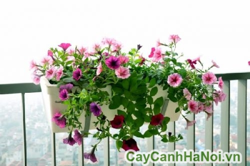 Hoa dạ yến thảo trong phong thủy
