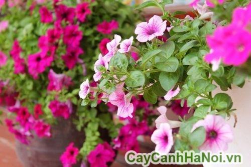 Cách chọn mua hoa dạ yến thảo