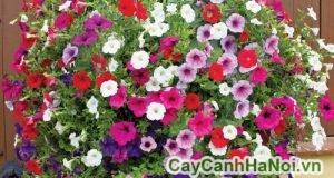 vị trí ứng dụng của hoa dạ yến thảo
