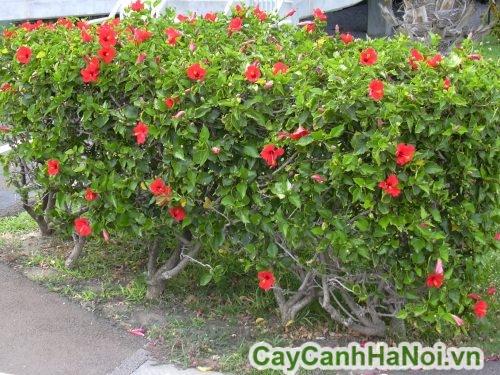 Cách chăm sóc cây dâm bụt thái