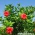 Cách chọn mua hoa dâm bụt thái