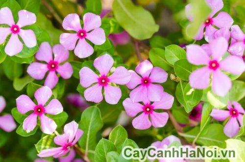 Hình ảnh hoa dừa cạn