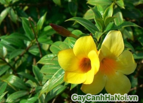 hoa huỳnh anh trong phong thủy
