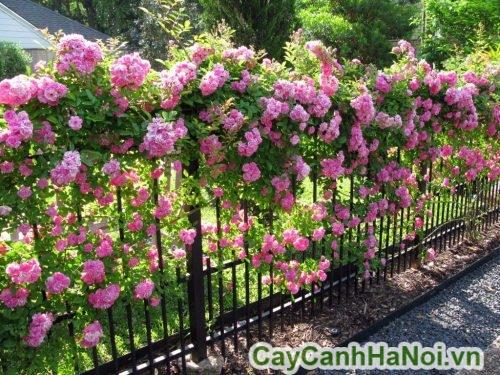 Hình ảnh hoa hồng leo