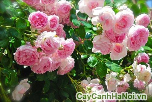 vị trí ứng dụng của hoa hồng leo