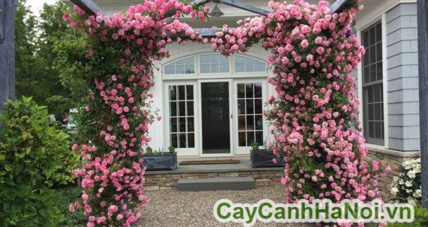 Cách chọn mua hoa hồng leo