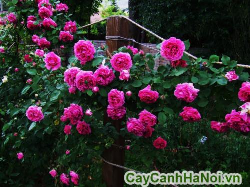 Cách chăm sóc hoa hồng leo