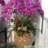 Cách chăm sóc hoa lan hồ điệp