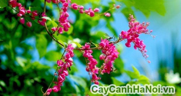 cách chăm sóc hoa ti gôn