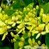 hoa mai hoàng yến trong phong thủy