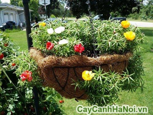 cách chăm sóc hoa mười giờ mỹ