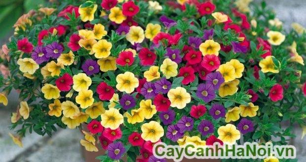 vị trí ứng dụng của hoa triệu chuông