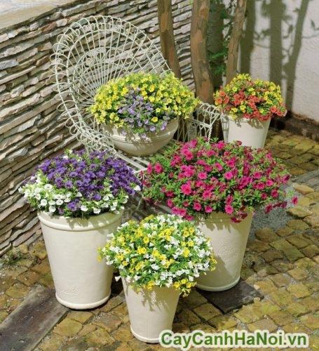 cách chăm sóc hoa triệu chuông
